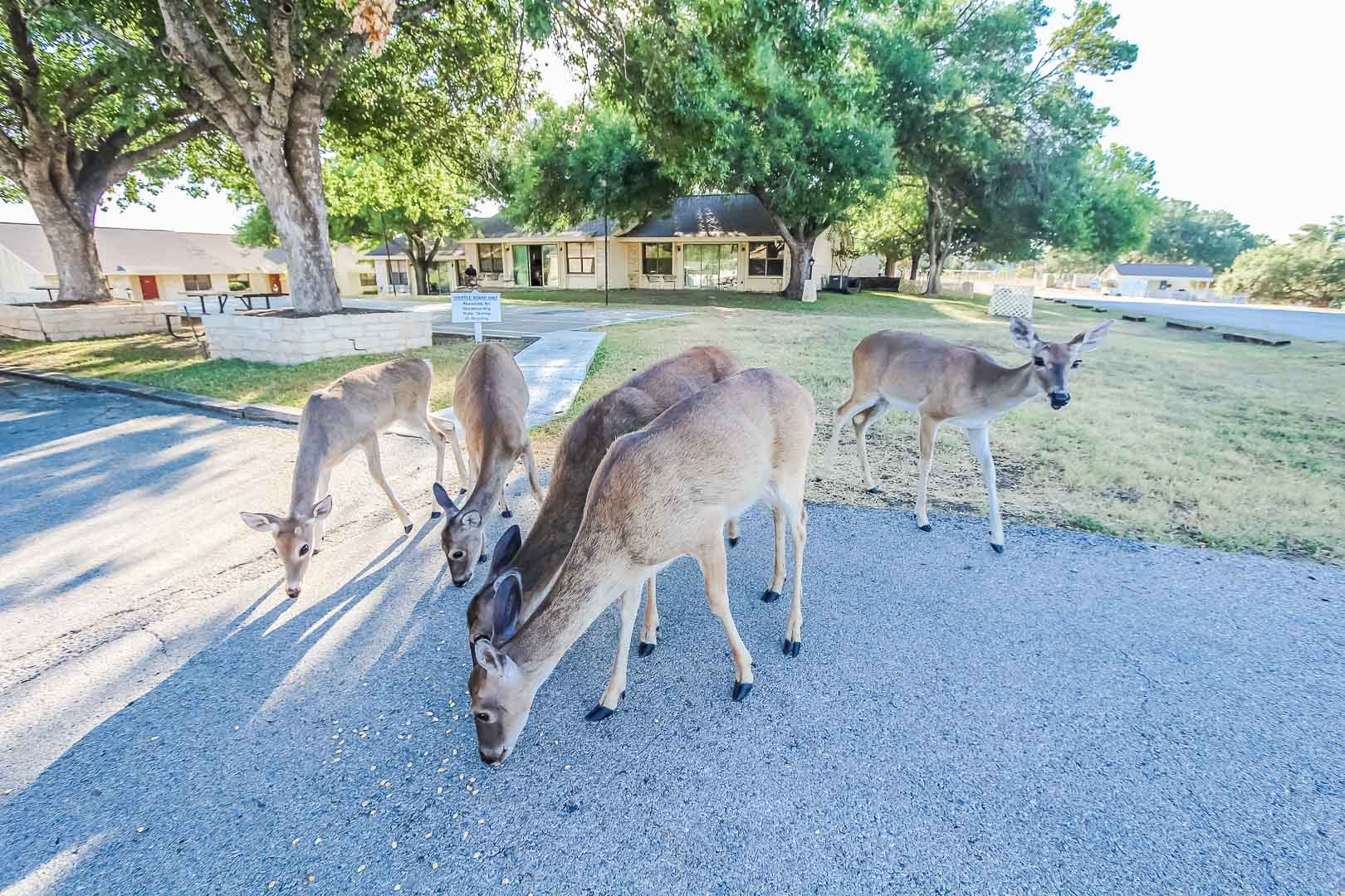 Deer located throughout the property at VRI's Vacation Village at Lake Travis in Texas.